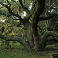 An Old Live Oak Draped With Spanish Print by Michael Melford