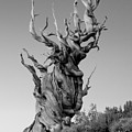 Ancient Bristlecone Pine Poster by Daniel Ryan