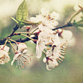 Apple blossom branch in early spring Print by Sandra Cunningham