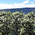 Apple Trees In Bloom     Print by Will Borden