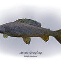 Arctic Grayling Print by Ralph Martens