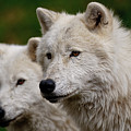 Arctic Wolf Pair Poster by Michael Cummings