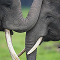 Asian Elephant Greeting Poster by Cyril Ruoso