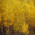 Aspen Fall 2 Print by Marty Koch