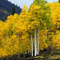 Aspen Fall 3 Print by Marty Koch