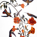 AUDUBON: HUMMINGBIRD by Granger