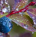 autumn Huckleberry berry and leaves macro in autumn Poster by Ed Book