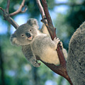 Baby Koala Bear by Himani - Printscapes
