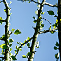 Baby Spring Tree Leaves 01 Print by Ryan Kelly