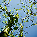 Baby Spring Tree Leaves 02 Poster by Ryan Kelly