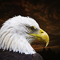 Bald Eagle - Freedom and Hope - Artist Cris Hayes Print by Cris Hayes