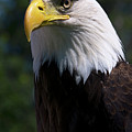 Bald Eagle Poster by JT Lewis
