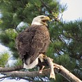 Bald Eagle with Fish for her Baby Eaglets Poster by Mitch Spillane