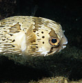 Balloonfish Profile Puffer Fish, Diodon Print by James Forte