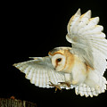Barn Owl Print by Andy Harmer and SPL and Photo Researchers