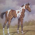 Bay Paint Foal Print by Dorothy Coatsworth