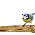 Beautiful Blue Tit Poster by MarcelTB
