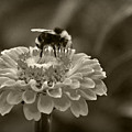 Bee on a Zinnia in Sepia Poster by Marion McCristall
