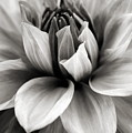 Black and White Dahlia Poster by Danielle Miller