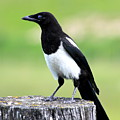 Black-billed Magpie Print by Karon Melillo DeVega