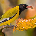 Black-headed Oriole Poster by Basie Van Zyl