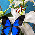 Blue butterfly on white tiger lily Poster by Garry Gay