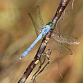 Blue Dragonfly Portrait Poster by Carol Groenen