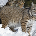 Bobcat Lynx Rufus In The Snow Poster by Matthias Breiter