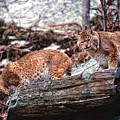 Bobcats on the Loose Print by Brad Hoyt
