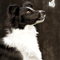 Border Collie Dog Watching Butterfly Print by Ethiriel  Photography