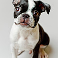 Boston Terrier Dog Puppy Poster by Square Dog Photography