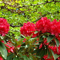 Botanical Garden Art Prints Red Rhodies Trees Baslee Troutman Print by Baslee Troutman
