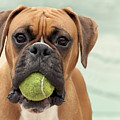 Boxer Dog Print by Jody Trappe Photography
