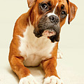 Boxer Dog On Ivory Backdrop Poster by Danny Beattie Photography