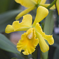 Bright yellow cattleya orchid Poster by Allan Seiden - Printscapes
