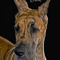 BRINDLE GREAT DANE Poster by Larry Linton