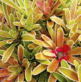 Bromeliad Brightness Poster by Ron Dahlquist - Printscapes