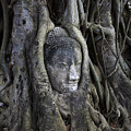 Buddha Head in Tree Print by Adrian Evans