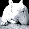Bull Terrier White on Black Print by Michael Tompsett