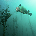 California Sea Lion In Kelp Poster by Steven Trainoff Ph.D.