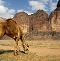 Camel grazing in a desert landscape Print by Sami Sarkis