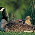 Canada Goose with goslings Poster by Alan and Sandy Carey and Photo Researchers