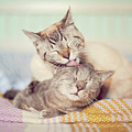 Cat Licking Another Cat Print by Viola Tavazzani Photography