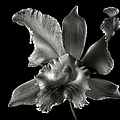 Catalea Orchid in Black and White Poster by Endre Balogh