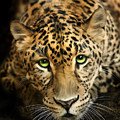 Cheetaro Print by Big Cat Rescue