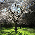 Cherry blossom sunshine Poster by Pierre Leclerc Photography