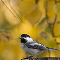 Chickadee on a Log Poster by Tim Grams