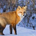 Christmas Fox Print by Mircea Costina Photography