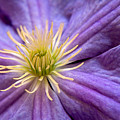 Clematis by Julia Hiebaum