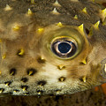 Closeup Of A Yellowspotted Burrfish Print by Tim Laman